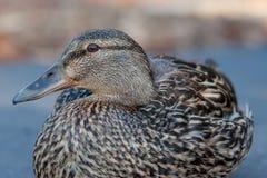 Opinión inicial del cierre femenino del pato silvestre Imagen de archivo libre de regalías
