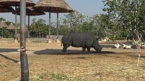 opinión 4K un rinoceronte en el parque zoológico Bangkok, Tailandia del mundo del safari almacen de metraje de vídeo