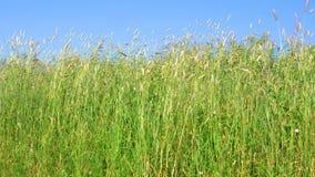 Opinión la hierba verde que se sacude contra el cielo azul almacen de metraje de vídeo