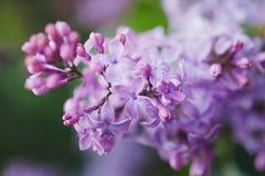 Opinión la lila floreciente con una profundidad baja Imágenes de archivo libres de regalías