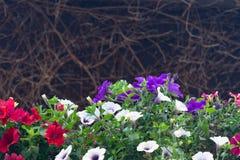 Opinión la petunia floreciente de diversos colores contra el contexto de una vid secada foto de archivo libre de regalías