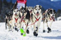 Opinión la raza de perro de trineo en nieve Foto de archivo