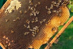 Opinión las abejas de trabajo en el panal con la miel dulce Fotografía de archivo