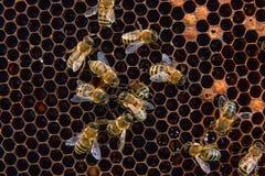 Opinión las abejas de trabajo en el panal con la miel dulce Fotografía de archivo libre de regalías