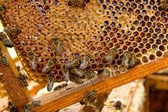 Opinión las abejas de trabajo en el panal con la miel dulce Foto de archivo libre de regalías