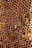Opinión las abejas de trabajo en el panal con la miel dulce Imágenes de archivo libres de regalías