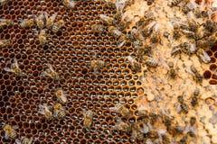 Opinión las abejas de trabajo en el panal con la miel dulce Fotos de archivo libres de regalías