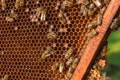 Opinión las abejas de trabajo en el panal con la miel dulce Imagen de archivo