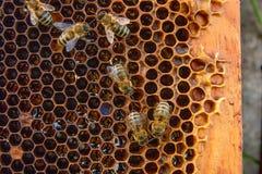 Opinión las abejas de trabajo en el panal con la miel dulce Foto de archivo