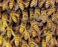 Opinión las abejas de trabajo en honeycells. Fotos de archivo libres de regalías