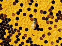 Opinión las abejas de trabajo en honeycells. Foto de archivo