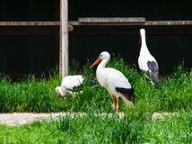 Opinión las cigüeñas blancas Imagenes de archivo