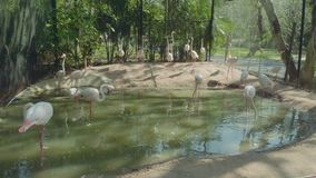 Opinión los flamencos de la abundancia en parque zoológico en Pattaya metrajes