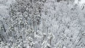 Opinión los pinos nevados en el bosque, visión superior Fotos de archivo libres de regalías