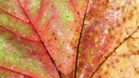 Opinión macra de la hoja de arce multicolora fotografía de archivo libre de regalías