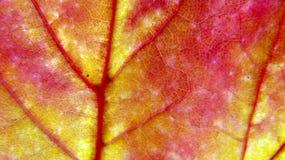Opinión macra de la hoja de arce multicolora fotos de archivo