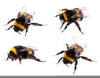 Opinión macra del abejorro aislada Imagen de archivo