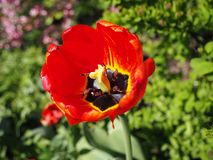 Opinión macra del pistilo rojo del tulipán fotos de archivo libres de regalías