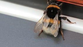 Opinión macra el abejorro Lucorum Blanco-atado del Bombus del abejorro Un abejorro grande Foco selectivo insectos Fotos de archivo