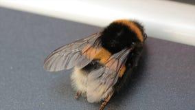 Opinión macra el abejorro Lucorum Blanco-atado del Bombus del abejorro Un abejorro grande Foco selectivo insectos Foto de archivo