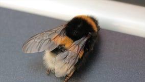 Opinión macra el abejorro Lucorum Blanco-atado del Bombus del abejorro Un abejorro grande Foco selectivo insectos Imagen de archivo
