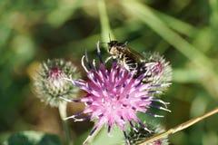 Opinión macra la abeja blanco-gris caucásica por el Megachile de los himenópteros Imagen de archivo libre de regalías