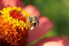 Opinión macra la abeja blanco-gris rayada caucásica mullida Amegilla a Foto de archivo