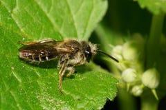 Opinión macra la pequeña abeja salvaje caucásica en la hoja verde de la ortiga Foto de archivo libre de regalías