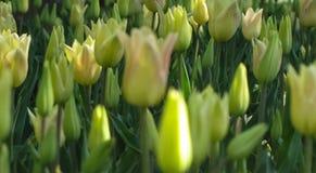Opinión macra tulipanes amarillos cerrados imágenes de archivo libres de regalías