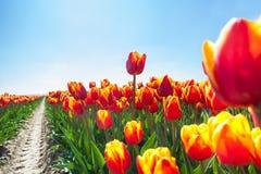 Opinión macra tulipanes anaranjados hermosos en sol Imagen de archivo