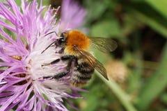 Opinión macra un abejorro anaranjado brillante mullido caucásico B del campo Imagen de archivo