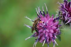 Opinión macra una abeja caucásica rayada del género Melitta en a Fotos de archivo libres de regalías