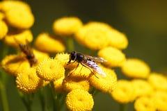 Opinión macra una abeja en el tansy imagenes de archivo