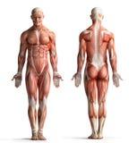 Opinión masculina de la anatomía Fotografía de archivo