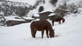 Opinión media los caballos que buscan para la comida en un campo cubierto por la nieve metrajes