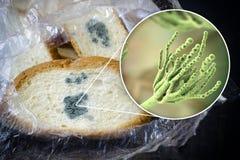 Opinión mohosa los hongos del penicillium, el agente causativo del pan y del primer del molde de pan fotografía de archivo libre de regalías