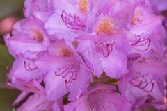 Opinión natural la azalea rosada colorida que florece en el jardín bajo luz del sol natural en el verano o el día de primavera so Imagen de archivo libre de regalías
