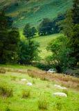 Opinión ovejas inglesas en campo Fotos de archivo libres de regalías