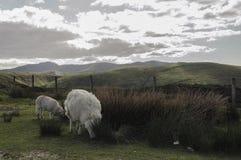 Opinión País de Gales del valle de las ovejas del paisaje Imagenes de archivo