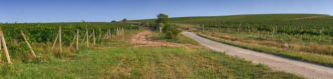 Opinión panorámica de la plantación del viñedo Fotografía de archivo libre de regalías