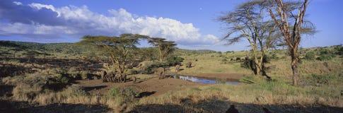 Opinión panorámica elefantes africanos en el agujero de riego en la luz en la conservación de Lewa, Kenia, África de la tarde Foto de archivo libre de regalías