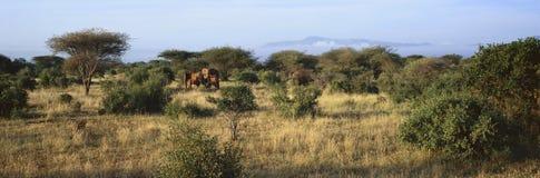 Opinión panorámica elefantes africanos en la luz en la conservación de Lewa, Kenia, África de la tarde Fotografía de archivo