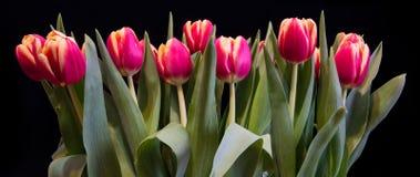 Opinión panorámica tulipanes en un fondo negro imágenes de archivo libres de regalías