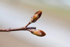 Opinión rojiza hermosa de la macro de la rama de árbol del brote De primavera todavía del tiempo foto de la vida Profundidad del  Imágenes de archivo libres de regalías