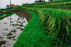 Opinión sobre campos de la subida y campos con agua en la isla de Bali indonesia foto de archivo libre de regalías