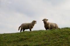 Opinión sobre dos ovejas blancas que se colocan en un área de la hierba en el emsland Alemania del rhede fotos de archivo