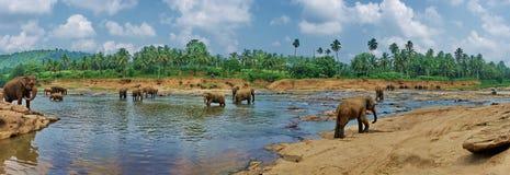 Opinión sobre elefantes indios grandes en el parque exótico de Asia del río en Sri L foto de archivo libre de regalías