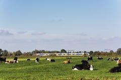 Opinión sobre prados verdes jugosos en los Países Bajos con una manada de vacas holandesas en ella fotos de archivo libres de regalías