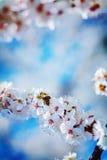 Opinión sobre rama del cerezo floreciente con Imagen de archivo libre de regalías