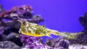 Opinión subacuática el boxfish amarillo almacen de metraje de vídeo